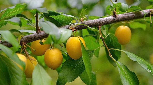 название плодовых кустарников