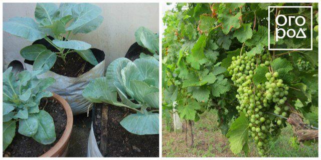 совместимость растений в огороде