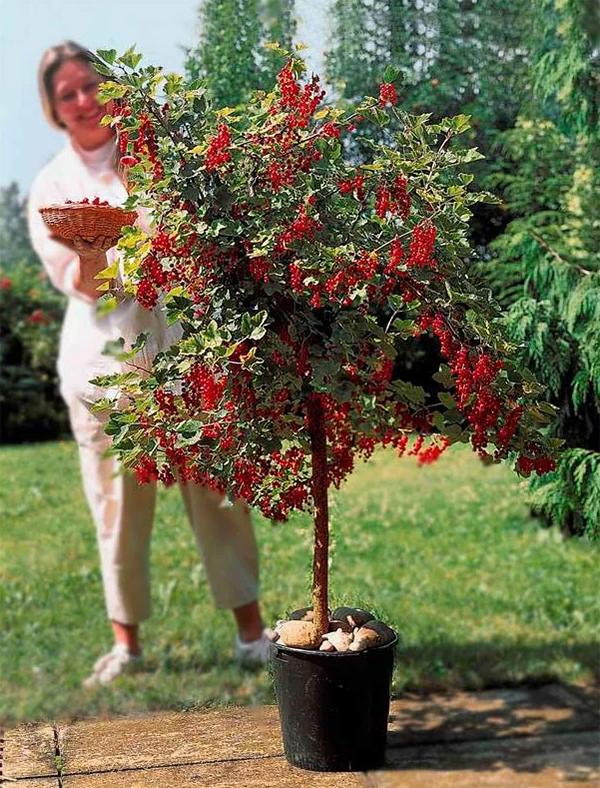 как красиво вырастить красную смородину в саду