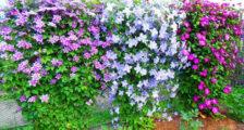 цветение клематисов в саду