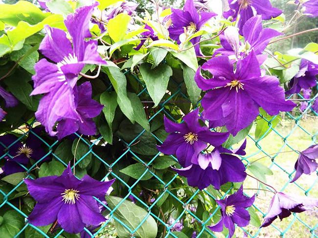 цветущие клематисы