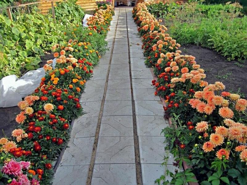 как красиво посадить георгины в саду