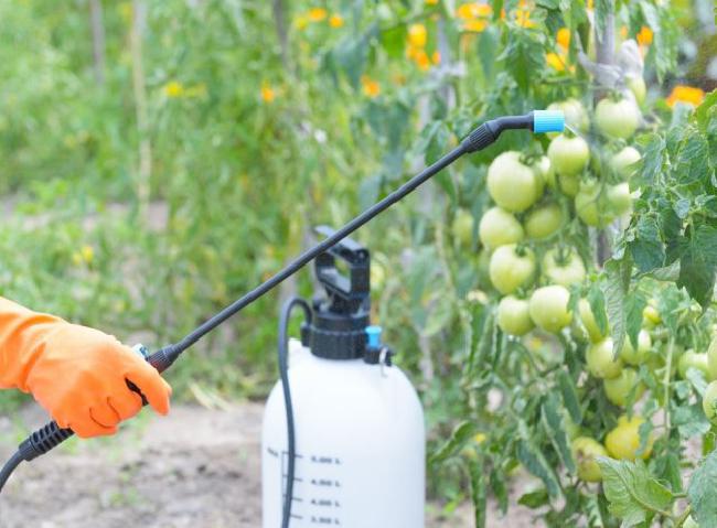 опрыскать помидоры от фитофторы