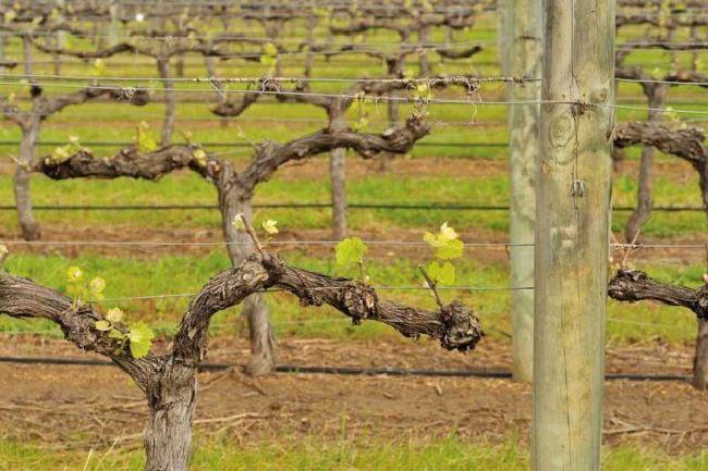 обработка винограда летом от болезней