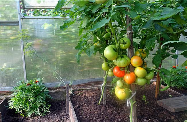 посадить с помидорами