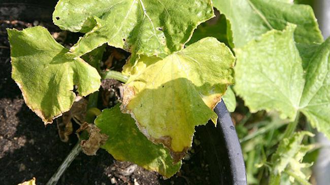 Как избавиться от желтизны на листьях огурцов