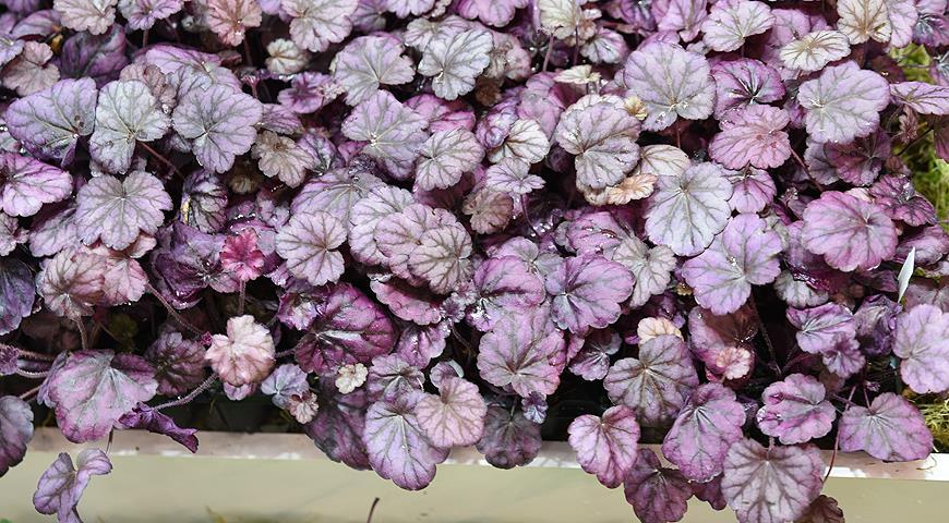декоративные многолетние цветы