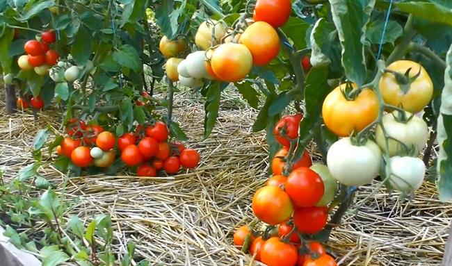 помидоры в саду