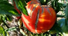 помидоры трескаются