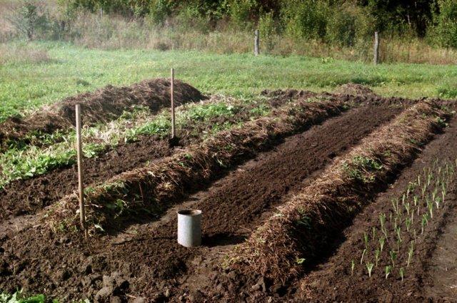 посадить после уборки чеснока