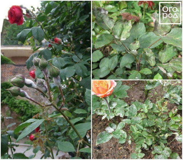пятна на листьях розы
