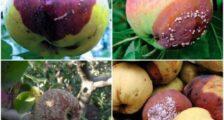 яблоки гниют на дереве